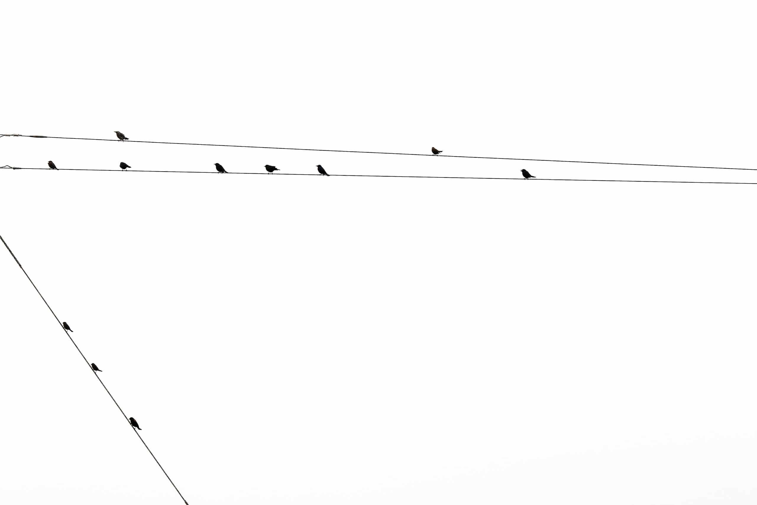 SANTA-CRUZ-WIREBIRDS-03-7779
